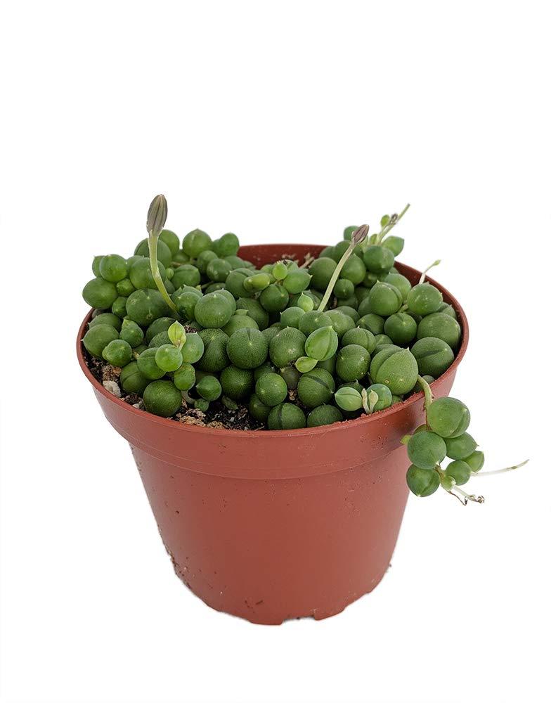 Amazoncom String Of Pearls Senecio Easy To Grow 4 Pot