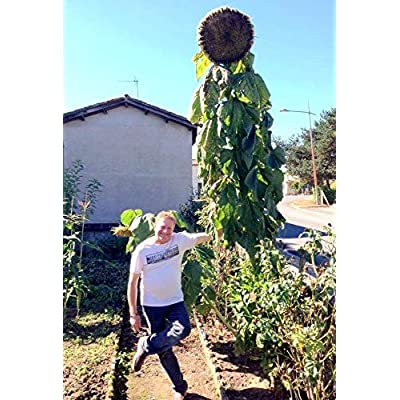 True Source Seeds - Mammoth Sunflower Kong Russian 16 FEET Tall!!! Helianthus Giant Huge, 30 Seeds : Garden & Outdoor