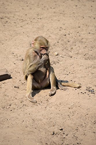 Home Comforts LAMINATED POSTER The Baboon 5 Animals Poster P