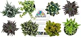 Altman Plants Succulents Windowsill & Indoor Collection 8 Pack, 2.5''