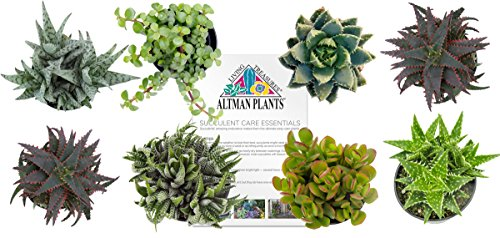 Altman Plants Succulents Windowsill & Indoor Collection 8 Pack, 2.5'' by Altman Plants