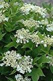 VIBURNUM TRILOBUM 'WENTWORTH'- AMERICAN CRANBERRY - STARTER PLANT
