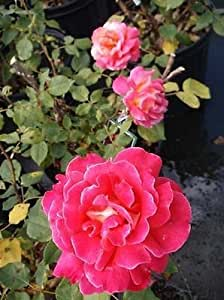 Luscious Glowing Amber Rose 2 Year Live Bush Plants Shrub Plant Fine Roses