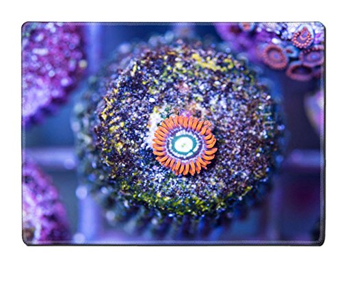 MSD Natural Rubber Placemat IMAGE ID: 35001813 fire and ice ausi zoa on frag plug stone in frag coral tank