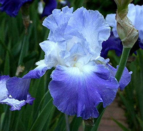 One Tall Bearded German Iris Rhizome/Bulb ~ CLARENCE ~White & Light Blue Blooms