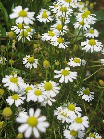 German Chamomile Herb Matricara Cosmetics
