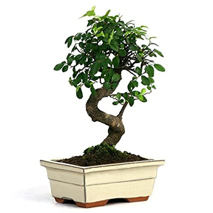Amazon Com Eastern Leaf Miniature Chinese Elm Bonsai Tree Bonsai Plants Grocery Gourmet Food