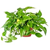 AMERICAN PLANT EXCHANGE Golden Pothos