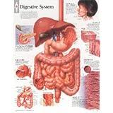 Digestive System chart: Wall Chart