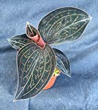 """ANOECTOCHILUS CHAPAENSIS, Rare Jewel Orchid Plant, Shipped in A 2 1/2"""" Pot"""