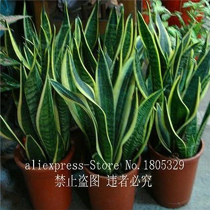 50pcs high quality Sansevieria seeds indoor plants Radiation Protection Bonsai seeds Very easy grow Foliage Plants SVI