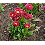 "PlenTree 300 Bellis Perennis Seeds - Red""Super Enorma"" - English Daisy"
