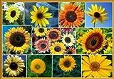 David's Garden Seeds Sunflower Sunny Mix D117DE (Mixed Colors) 100 Heirloom Seeds