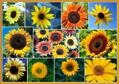 davids-garden-seeds-sunflower-sunny-mix-d117de-mixed-colors-100-heirloom-seeds
