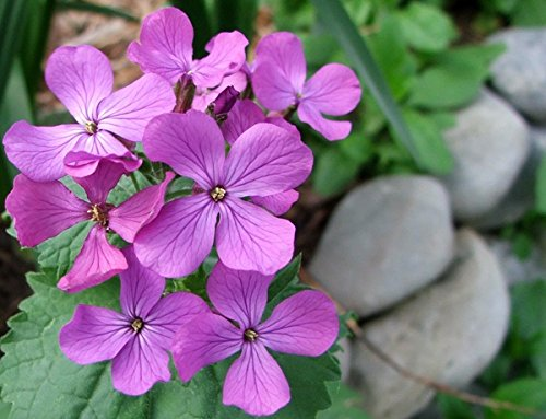 Flower Honesty Mixed 400 Seeds Ideal Dried Large Packet