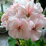 Geranium Flowers Seeds Perennial Bonsai Plants Seeds Pelargonium Graveolens potted for home and garden 30PCS 3