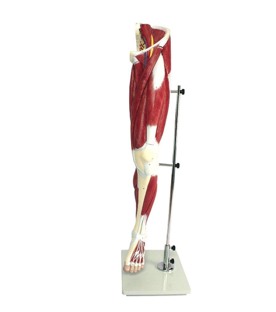 【frugolio casa】  下肢の筋肉,13分解デラックスモデル - 1.7356   B01BI0V8OM
