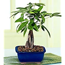 LOUSBONSAINURSERY MEDIUM BRAIDED MONEY TREE
