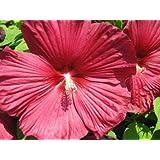 """rot abelmoschus, hibiskus moscheutos """" luna' 5 Samen (ROT) Hibiscus Red"""
