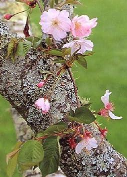TROPICA - Cerezo de Flor Japonés (Prunus serrulata) - 30 semillas- Resistente invierno