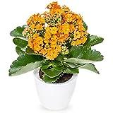 スワングリーン6:ZLKING 100個/パック長寿の花の種カランコエの小植物ミニオフィス盆栽の種子多年草の花6