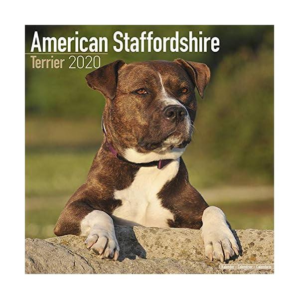 American Staffordshire Terrier Calendar - Dog Breed Calendars - 2019 - 2020 Wall Calendars - 16 Month by Avonside 1