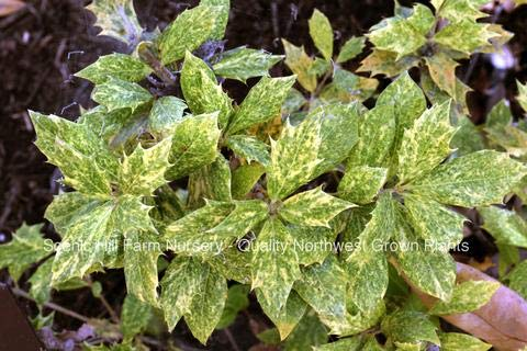 (3 Plants Osmanthus heterophyllus 'Goshiki'- Tea Olive/Variegated Holly Leaf Osmanthus by Raflesa)