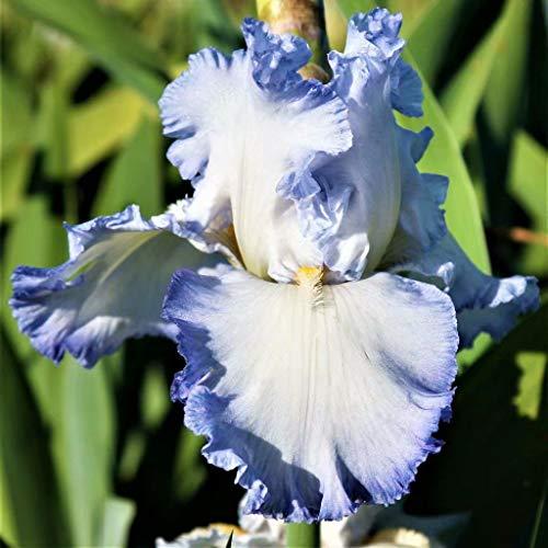 Iris Bulbs Blue - 2 Bulbs Bearded Iris Roots Eye-catching Perennial Flowers Garden - Blue Bearded Iris Spring