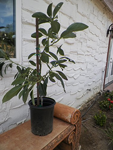 grafted-lamb-hass-avocado-fruit-tree-3-4-ft-tall