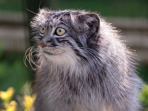 Pallas Cat (Pallas Cat -Oil Painting On Canvas Modern Wall Art Pictures For Home Decoration Wooden Framed (20X16 Inch, Framed))