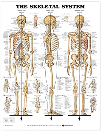 The Skeletal System Anatomical Chart: Books: Amazon.com: Industrial ...