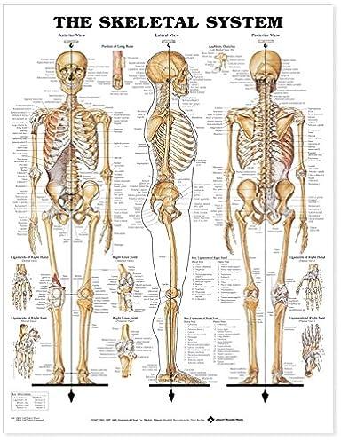 Skeletal Organ Diagram - Circuit Connection Diagram •
