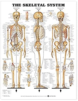 the skeletal system anatomical chart: anatomical chart com: amazon ca:  office products