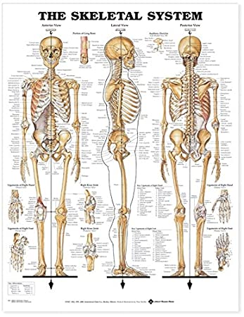 Amazon.com: The Skeletal System Anatomical Chart: Anatomical Chart ...