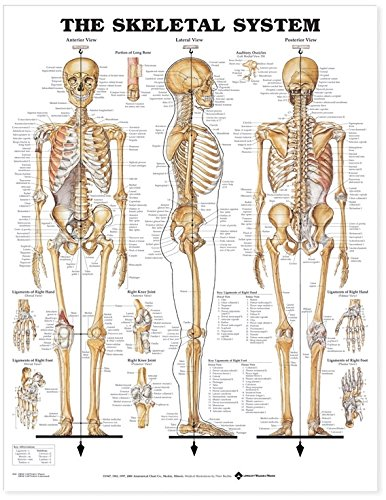 The Skeletal System Anatomical Chart Books Amazon Industrial