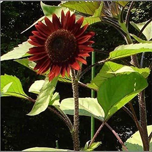 UPmall Chocolate Sunflower Seeds - 40 Seeds ()