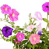 Achimenes Bulbs Pixie Mix - Monkey Face Pansy - Mixed Cupid's Bow Bulbs | Ships From Easy to Grow