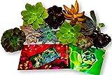 Fat Plants San Diego Ten Gorgeous All Rosette Succulent Cuttings