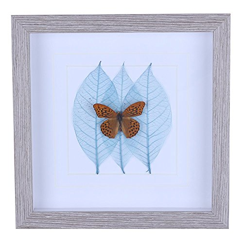 Yellow Butterfly Framed in Shadow Box, 3 Blue Leaves on Back (Argyronome Laodice)