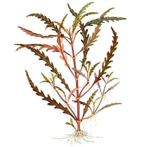 Tropica Hygrophila pinnatifida Live Aquarium Plant - In Vitro Tissue Culture 1-2-Grow!