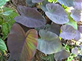 "COLOCASIA - BLACK MAGIC - ELEPHANT EAR - 4.5"" QUART POTS - LARGE - LIVE PLANT"
