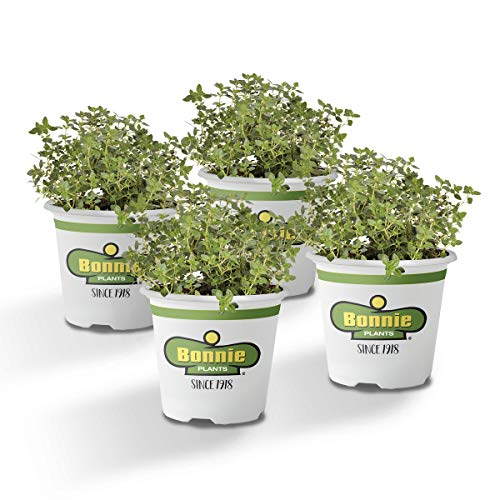 Bonnie Plants 4P5116 Thyme Live Herb Plants-4 Pack, Perennial in Zones 7 to 9, To Give Dishes A Lemon Flavor