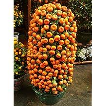 1bag=50pcs Kumquat Seeds orange Balcony Patio Potted Lots Fruits Trees Tasty Juicy Orange Seeds For Home and Garden