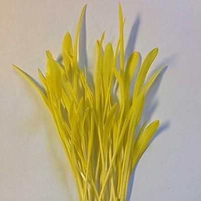 Yellow Popcorn Garden Seeds - Non-GMO, Organic, Heirloom Vegetable Gardening & Microgreens Seeds - Pop Corn