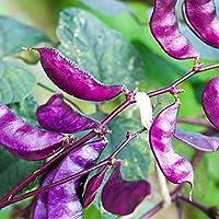 Outsidepride Purple Hyacinth Bean Red Leaved Plant Vine Seed - 100 Seeds