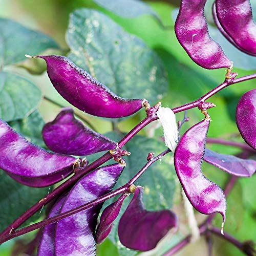 Outsidepride Purple Hyacinth Bean Red Leaved Plant Vine Seed - 100 Seeds