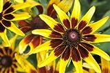"RUDBECKIA -Kelvedon Star- ""Gloriosa Daisy"" 50+Perennial Seeds"