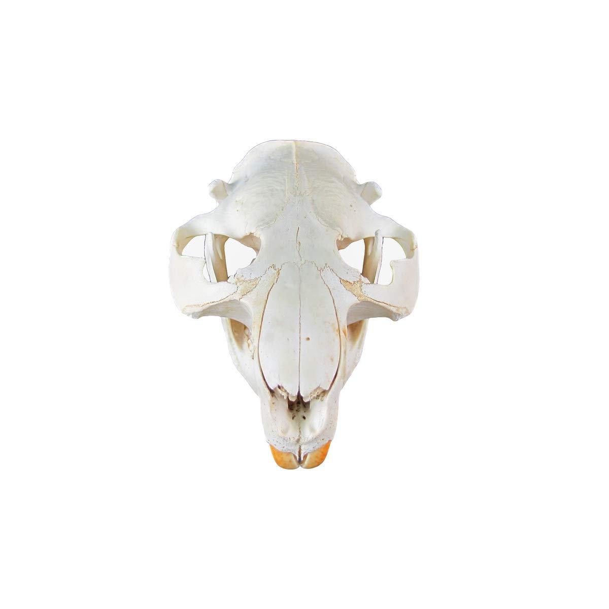 TG,LLC Treasure Gurus Genuine Beaver Skull Taxidermy Animal Bones Unique Animal Hunting Cabin Decor