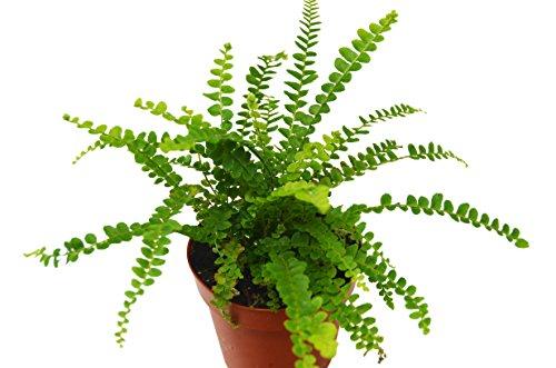 Lemon Butter Fern - Live Plant - FREE Care Guide - 4'' Pot - Low Light House Plant by House Plant Shop