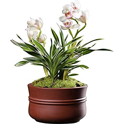 Orchids Flower Live Plant Garden Plant for Home Decor (White Queen (2 Plants: 3 Stems Each))-Shipped Without Flowers : Garden & Outdoor